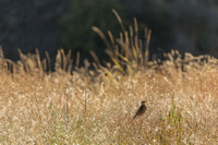 Meadowlark at Rock Creek